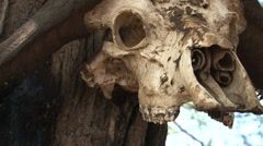 Skull buffalo head Stock Footage