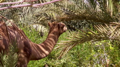 chewing camel - stock footage