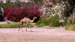 Camel for a walk Stock Footage