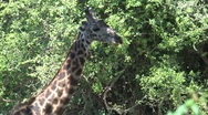 Giraffe eating from tree Stock Footage