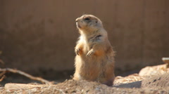 Prairie Dog (2) - stock footage