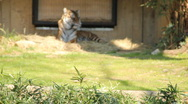 Stock Video Footage of Bengal Tiger