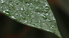 ECU Green Leaf in the Rain LOOPABLE GFHD Stock Footage