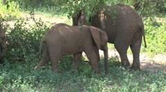 Group Elephants lake manyara Stock Footage