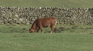 Stock Video Footage of Cow grazes near Reeth, Swaledale.