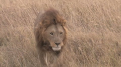Lion walking through grass Stock Footage