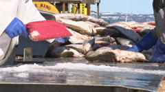 Sorting the Halibut #2 - 30p - stock footage