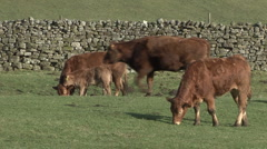 Cattle walk past calf and it's mother near Reeth, Swaledale. - stock footage
