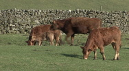 Cattle walk past calf and it's mother near Reeth, Swaledale. Stock Footage