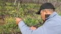 Pruning Sonoma Vineyards Footage