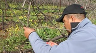 Stock Video Footage of Pruning Sonoma Vineyards