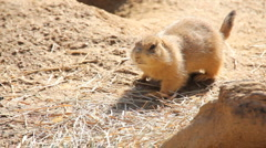 Prairie Dog (1) - stock footage