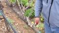 Vineyard Pruning HD Footage