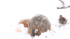 Squirrel in the snow with sparrow - stock footage