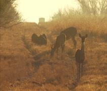 Deer at Dawn Running - stock footage