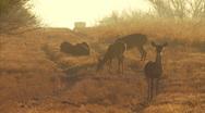 Deer at Dawn Running Stock Footage