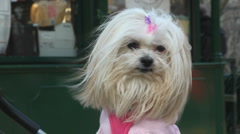 White dog in Cental Park Stock Footage