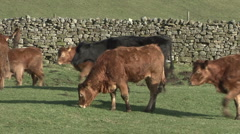 Herd of cattle near Reeth, Swaledale. Stock Footage