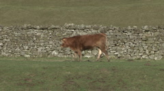 Cow walks beside dry stone wall near Reeth, Swaledale. Stock Footage