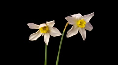 Two narcissus flowers opening in time lapse Stock Footage