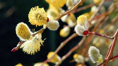 flowering willow - stock footage