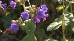 Hairy footed flower bee visiting several pulmonaria flowers. Stock Footage