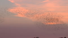 Stock Video Footage of 50.000+ birds dancing in a n orange purple sky