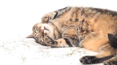 Adult tabby cat rolling in catnip Stock Footage