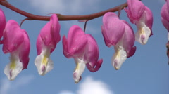 Branch of  bleeding heart flowers  Stock Footage