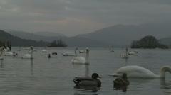 Windermere swans & ducks Stock Footage