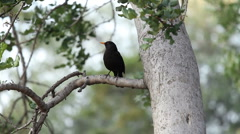 Common Blackbird Stock Footage