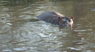 Stock Video Footage of baby hippo
