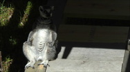 Ring tailed Lemur warming it's belly Stock Footage