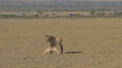 Wildebeest young drinking Stock Footage