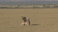 Stock Video Footage of Wildebeest young drinking