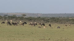 Group Wildebeest Stock Footage