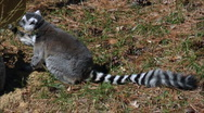 Stock Video Footage of Ring tailed Lemur pulling branches