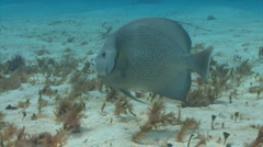 Gray angelfish swimming around coral reef Stock Footage