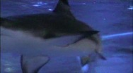 Stock Video Footage of shark