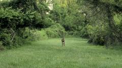 Stock Video Footage of Curious Deer