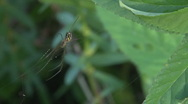 Spider Leucauge Argyra quickly goes away Stock Footage