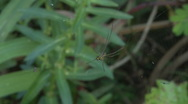Spider Leucauge Argyra in its web Stock Footage