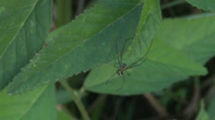 Spider Leucauge Argyra on a leaf hides - stock footage