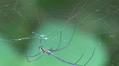 Spider Leucauge Argyra ECU Stock Footage