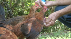 Man feeding Chickens (Hands CU) Stock Footage