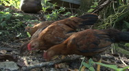 Stock Video Footage of Chickens Close Up