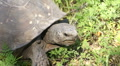 Gopher Tortoise - Gopherus Polyphemus HD Footage