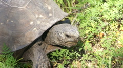 Gopher Tortoise - Gopherus Polyphemus Stock Footage