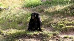 Chimp 8893N Stock Footage