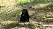Stock Video Footage of Chimp 8893N